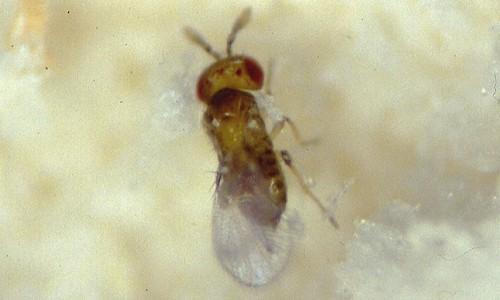 Die Schlupfwespe (Trichogramma evanescens)